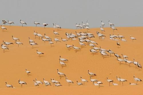 BFB 32 Cranes On Sand Dunes
